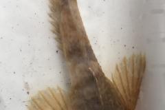 River Wildlife - bullhead fish
